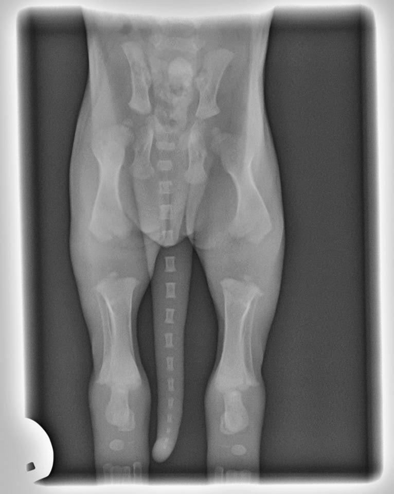 Welpe 2 Wochen Röntgenaufnahme